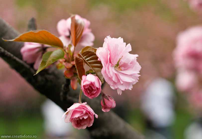 Flori de c